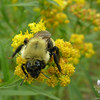 American Bumblebee (Bombus pennsylvanicus) on Goldenrod.