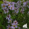 New England Aster (Symphyotrichum novaeangliae)