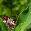 Great Spangled (Fritillary Speyeria cybele) on Milkweed (Asclepias syriaca)