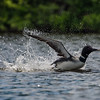 Common Loon (Gavia immer) 6
