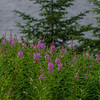 Fireweed (Epilobium augustifolium)