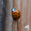 Our companions at the yurt, dozens of Ladybugs (Coccinella septempunctata)