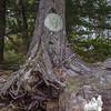Common Greenshield Lichen (Flavoparmelia caperata)