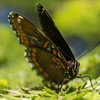 Red-Spotted Purple (Limenitisarthemis astyanax)