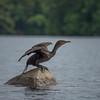 Double-crested Cormorant (Phalacrocorax auritis)
