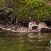 Baby ducks-Mallard (Anas platyrhynchos)