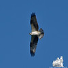 Fly-by- Osprey (Pandion haliaetus)