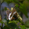 Battered wing White Admiral (Limenitis arthemis arthemis)