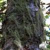 Beard Lichen at Zeta Pass.