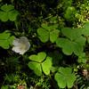 Common Wood Sorrel on the way to Mount Hight. Common Wood Sorrel (Oxalis montana)
