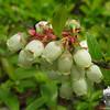 Low Bush Blueberry (Vaccinium augustifolium)