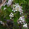 Just coming out. Mountain Laurel (Kalmia latifolia)