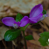 Parts of the trail were littered with this as well- Fringed Polygala (Polygala paucifolia)
