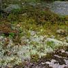 Alpine Bilberry and Reindeer Lichen.