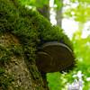 Artist's Fungus (Ganoderma applanatum)
