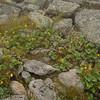A nice patch of Mountain Avens (Geum peckii)
