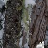 Frozen beard lichen...