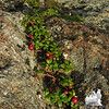 Mountain Cranberry (Vaccinium vitisidaea) on the north ledge.