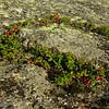 More Mountain Cranberry (Vaccinium vitisidaea)