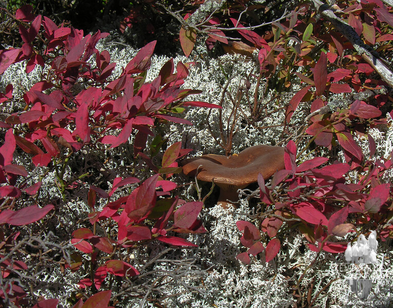 A mushroom from the Boletus family springs up in a patch of Reindeer Lichen and scarlet Alpine Bilberry.
