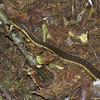 Common Garter Snake on the East Royce Trail.
