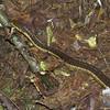 Common Garter Snake on the East Royce Trail.