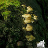 Possibly: Golden Trumpets (Xeromphalina campanella.)