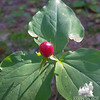 Trillium Seed (Trillium undulatum)