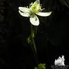 Goldthread (Coptis trifolia)