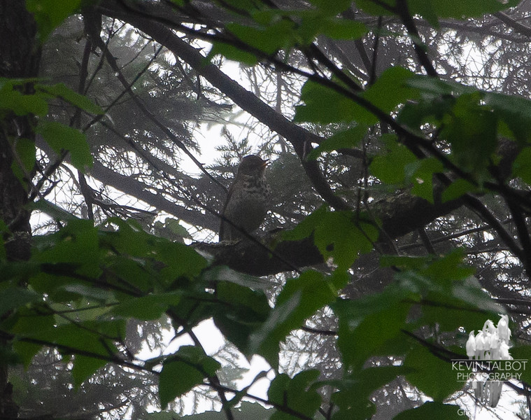 Poor photo, but this was one of many thrushes that were singing their beautiful melodious songs to keep us company in the thick mist. Not really sure what type of Thrush-wish I had thought to record their song to compare...