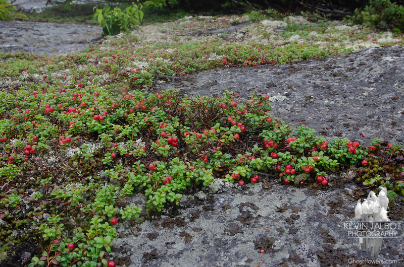 Mountain Cranberry was very close to being ripe. It is edible, and of course, very tart like other cranberries... someday I want to bake a pie of them with wild low bush blueberries...