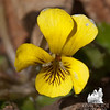 Round-leaved Yellow Violet (Viola rotundifolia).
