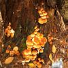Mushrooms on an old stump. Possibly Brick Top (Naematoloma sublateritium)