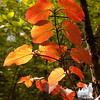 Changing Hobblebush (Viburnum lantanoides)