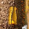 Yellow blaze and Fairy Butter (Dacrymyces palmatus)