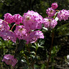 Sheep Laurel (Kalmia Augustifolia)