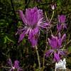Rhodora (Rhododendron canadensis) 1.