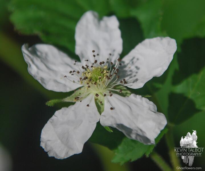 Common Blackberry (Rubus allegheniensis)