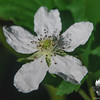 Common Blackberry (Rubus allegheniensis)