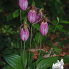 Pink Lady's Slipper (Cypripedium acaule) with Canada Mayflower (Maianthemum canadense)