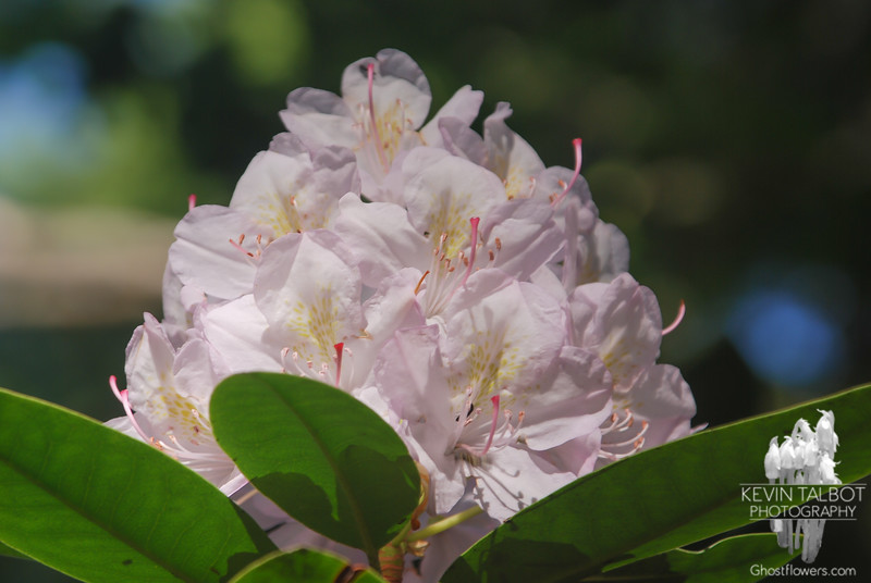 Rhododendron rhododendron