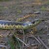 Common Garter Snake (Thamnophis sirtalis)