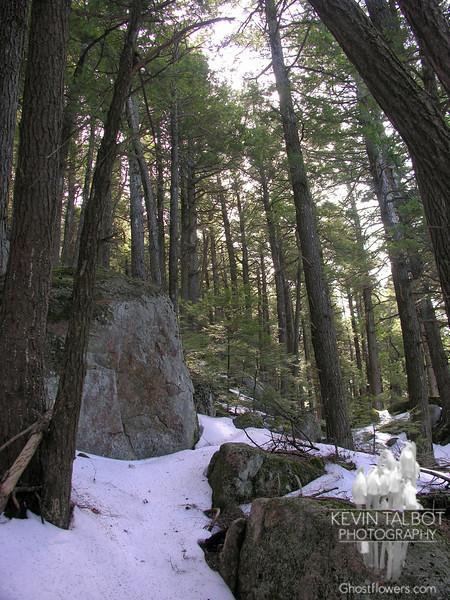 Hemlocks on North Pawtuckaway Mountain.