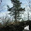 Probably: Northern White Cedar (Thuja accidentalis)