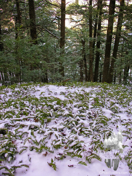 Snow and ferns.