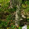 Wild Columbine (Aquilegia canadensis)