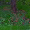 Wild Columbine Aquilegia canadensis