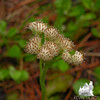 Plaintan-leaved Pussytoes (Antennaria plantaginifolia)