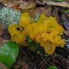 Witche's Butter (Tremella mesenterica)