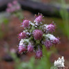 Plaintan-leaved Pussytoes (Antennaria plantaginifolia)